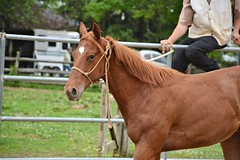 45 (CrevanNight) Tags: spring horse horses farm farms country equine train training thoroughbred thoroughbreds yearling yearlings cute pretty couple sweet equines new experience life lover stubborn young amish lancaster pennsylvania pa