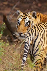 Celebrating #InternationalTigerDay A world without these beautiful cats just doesnt bear thinking about (Pui Hang) Tags: bandhavgarh india indiantiger royalbengaltiger