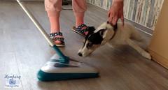 cleaner hunter (2) (Enjoy my pixel.... :-)) Tags: dog animal danger canon jack eos russel terrier hund hunter cleaner 2016