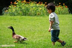_MG_4381-3 (clarissa griffioen) Tags: park brugge belgie belgique city citylife animal chase child boy smallchild childish chasing ontherun beingchased life love play tease run duck natur respect childrenplay