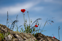 En vol (S@ndrine Nel) Tags: coquelicots poppies nature nelsandrine