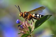 Cicada Killer (jt893x) Tags: 150600mm cicadakiller cicadakillerwasp d500 easterncicadakiller insect jt893x macro nikon nikond500 sigma sigma150600mmf563dgoshsms spheciusspeciosus wasp specanimal