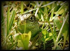 grn in grn.... (karin_b1966) Tags: tier animal echse lizzard amphibie amphibian garten garden natur nature 2016 garteneidechse gardenlizzard yourbestoftoday