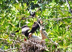Nesting Anhinga and Chicks (Key West Wedding Photography) Tags: anhinga anhingas bird birds tropic tropics keywest florida cayobo helenbo destoni