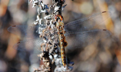 A spot on the wing (TJ Gehling) Tags: insect odonata anisoptera dragonfly skimmer libellulidae glider rainpoolglider spotwingedglider pantala pantalahymenaea canyontrailpark elcerrito