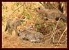 FEMALE CHEETAH WITH HER CUBS (Acinonyx jubatus).....MASAI MARA....OCT 2015. (M Z Malik) Tags: nikon d3x 200400mm14afs kenya africa safari wildlife masaimara maraserena transmara exoticafricanwildlife exoticafricancats flickrbigcats cheetahfamily ngc