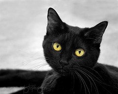 Nibbler (dogwood_springs_photography) Tags: black yellow cat fur eyes feline kitty dsh nibbler apet