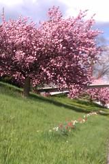 Elbberg Altona im Spätfrühling (kmurxs) Tags: spring hamburg altona frühling kirschblüte elbberg