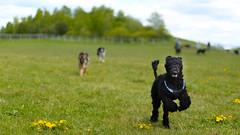 Fornebu mai 2015 (Rune Lind) Tags: summer dog playing dogs oslo norway norge sommer hunting running p otto gress fornebu leker 2015 grnt schafer lper storpuddel utendrs jakter fornebustranda konepuddel fornebustranden