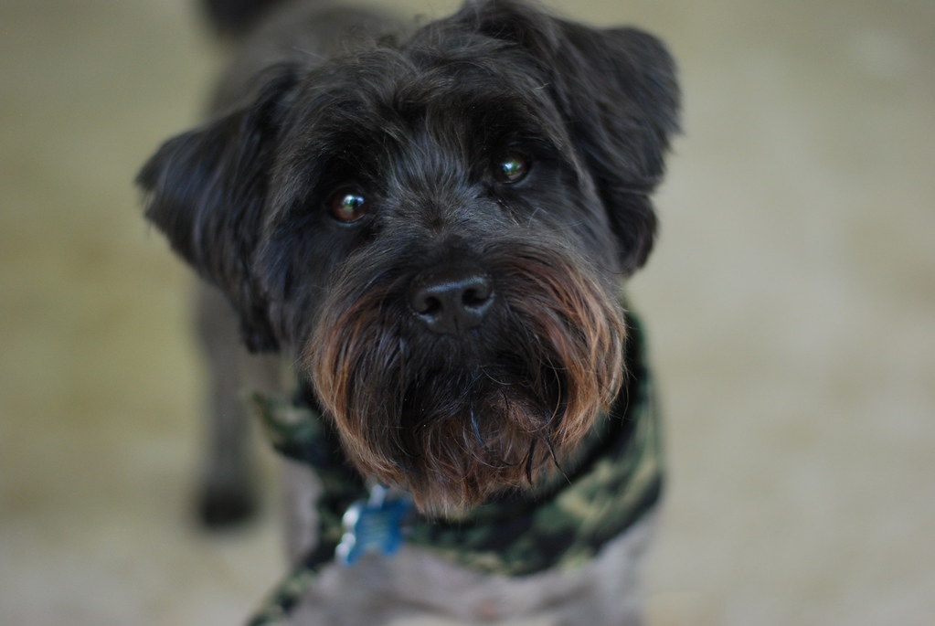 The Worlds Newest Photos Of Schnauzer And Yorkie Flickr Hive Mind