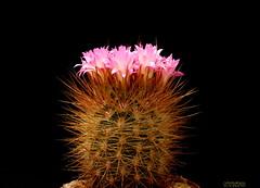 Neoporteria nigrihorrida (Nyxtofulakas) Tags: summer flower nature succulent spines eriosyce subgibbosa neoporteria nigrihorrida