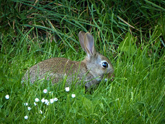 Backgarden  Bunny (me'nthedogs) Tags: rabbit bunny home lawn