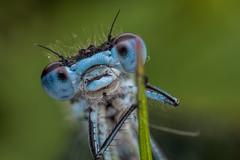 Azure Damselfly Portrait (steb1) Tags: macro insect damselfly canonmpe65mm odonata 2015 azuredamselfly coenagrionpuella brownmoss concavediffuser yongnuoyn14ex