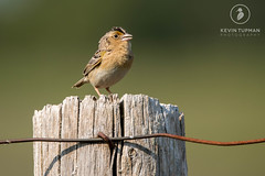 Grasshopper Sparrow (Kevin Tupman Photography) Tags: sparrow grasshoppersparrow kevintupmanphotography