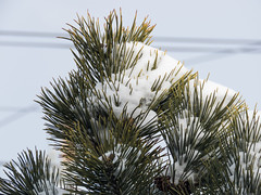 Snow on Pine Leaves (Image Catalog) Tags: sky snow tree ice leaves pine outdoor publicdomain