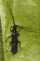 Mehkokrilec (natalija2006) Tags: black male soldier beetle coleoptera cantharidae elateroidea polyphaga rn malthodes mehkokrilci hroi pokalice sneenke mehkokrilec vsejedi
