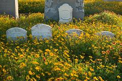 Texas wildflowers (minus6 (tuan)) Tags: mts minus6