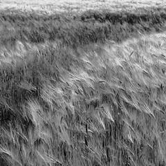 allegretto (vertblu) Tags: summer bw barley mono corn cornfield grain cereal ears cornstalks agriculture 500x500 haulm simplenature grainfields ripeninggrain vertblu