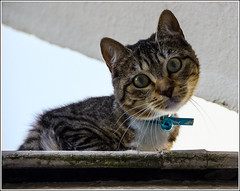 #20/52 : Scary cat :-) (Herv Marchand) Tags: urban cat scary lol wildlife 52weeksthe2016edition week202016 weekstartingfridaymay132016