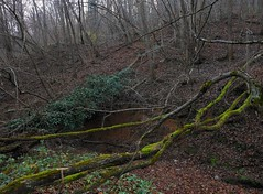 Fallen Trees. (Stefano Bonalume) Tags: wood trees plants plant tree nature forest woodland dark landscape dead death landscapes moss flora ivy deadtree treetrunk shade trunk botany hedera fallentree treetrunks deadtrees hederahelix fallentrees naturallandscape naturelandscape woodlandscape bonalume stefanobonalume