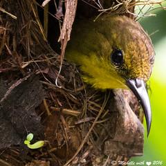 Close up! (michellexueqi) Tags: bird nature nest wildlife sunbird naturephotography birdphotography wildlifephotography