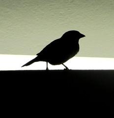 solitaire (CatnessGrace) Tags: lighting urban white black birds lights lightsandshadows beige shadows silhouettes sparrow urbannature sparrows minimalist rothkoesque birdsilhouettes