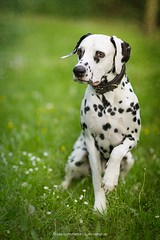Snape (Bea Burin-Herbst   Fotografie) Tags: portrait dog pet nature canon outdoor natur wiese 85mm hund doggy haustier dalmatian snape frhling gnseblmchen rde dalmatiner petphotography petphotographer haustierfotograf haustierfotografie