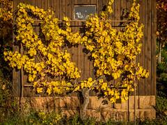 Weinstock (olipennell) Tags: autumn de deutschland vineyard herbst htte pflanze hut weinberg heilbronn weinstock badenwrttemberg