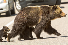 Road warriors {Explored} (ChicagoBob46) Tags: cub yellowstonenationalpark yellowstone cubs grizzly coy grizz grizzlybear