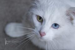 3628 the Ghost cat (Karen Juliano) Tags: pink blue white green fur nose eyes furry kitty whiskers stray heterochromiairidium