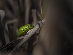 European tree frog, Lövgroda (Jan Westerlund) Tags: green animal canon european small frog frogs frosch arborea djur grön groda liten amphibia hylidae hylaarborea amfibie grodor europeantreefrog europäischerlaubfrosch lövgroda