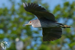 Black-crowned Night Heron - 12 (RGL_Photography) Tags: heron birds us newjersey unitedstates wildlife birdsinflight oceancity jerseyshore juvenile ornithology mothernature rookery bif blackcrownednightheron nycticoraxnycticorax wadingbirds capemaycounty migratorybirds wildlifephotography nikond500 greateggharborbay littlefingerchannel staintonmemorialcauseway nikonafs200500mmf56eedvr