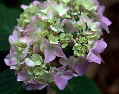 IMG_8705.CR2 (jalexartis) Tags: flowers flower spring bloom hydrangea blooms shrub shrubbery pinkhydrangea