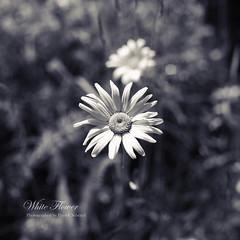 White Flower (Patrick Scheuch Photography) Tags: flower nature monochrome garden 50mm spring seasons natur blume garten bnw frhling leucanthemum margerite margeriten canoneos600d