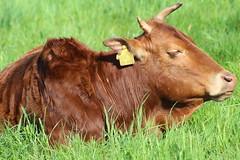 Zebu Little   Red enjoy the sun (excellentzebu1050) Tags: field animal animals closeup cattle outdoor farm zebu animalportraits africancattle zebucattle miniaturezebu coth5 zubus2016lamamay