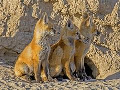 red fox (Pattys-photos) Tags: red idaho fox kits