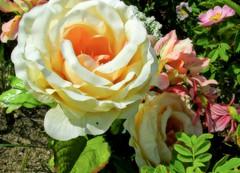 a rose for mama (ènfin (verna)) Tags: picmonkey gününeniyisi thebestofday flowerarebeautiful thebestofmimamorsgroups