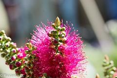 _DSC9230.jpg (Riccardo Q.) Tags: macro fiori fiore altreparolechiave floreka