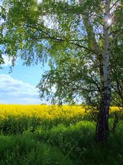 Rape-seed (swetlanahasenjger) Tags: deutschland mai greifswald birke sonnenschein mecklenburgvorpommern rapsfeld coth platinumheartaward