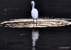 DSC_0998 (rachidH) Tags: nepal lake nature birds pokhara fewa phewa oiseaux egrets littleegret egrettagarzetta aigrettegarzette rachidh