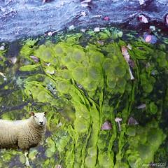 Baa Humbug (Lemon~art) Tags: life flowers green water leaves animal fun whimsy sheep surreal seeds fantasy photomontage algae organic baa humbug