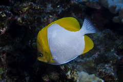 Pyramid fish (b.campbell65) Tags: ocean travel blue sea wild fish seascape green nature water animal coral swim island hawaii marine colorful underwater natural pacific background wildlife dive scuba diving tropical reef kona isolated reeffish coralheads