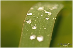 Raindrops on a Blade of Grass (Sharon Dow Photography) Tags: uk wild summer england nature water grass rural reflections sussex countryside flora nikon pretty westsussex britain wildlife small ngc reserve drop drip droplet horsham naturalworld raindrop minature bladeofgrass flowerhead 2016 springwatch jewles d7100 nikond7100 sharondowphotography june2016 warnhamnature