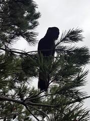 Yellow-tailed black cocky in a pine tree (ajft) Tags: tree bird silhouette geotagged australia victoria cockatoo aus mentone yellowtailedblackcockatoo geo:zip=3194 geo:lat=3798638889 geo:lon=14506805556