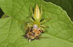 Having dinner (Jenny Thynne) Tags: spider eating australia brisbane queensland honeybee invertebrate salticidae mopsusmormon
