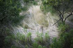Dried grass / Sony 7RII  SUMMILUX-M 35mm F1.4 ASPH. (mokuu) Tags: green  driedgrass