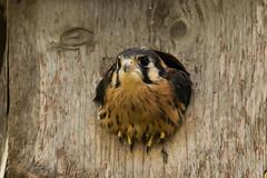 Des Moines,Iowa 6/20/2016 (Doug Lambert) Tags: bird nature midwest wildlife iowa raptor americankestrel desmoines fledging