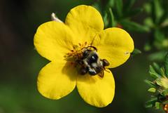 bee on yellow flower (BobRobin) Tags: cascades cleelum washington bee flower insect