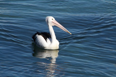 Handsome Pelican (IAGD+P) Tags: manly sydney blowing whales humpbackwhales northernbeaches whaleseason