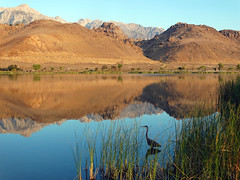 Mt Whitney Reflection and Heron, CA 6-21-16 (inkknife_2000 (6.5 million views +)) Tags: california reflection birds reeds stillwater mtwhitney blueheron waterfowl sierranevada waterreflections lakediaz tallestpeakinusa volcanicmounds